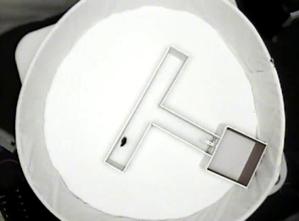 Ethovision T-maze