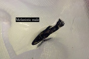 A male melanistic mosquitofish