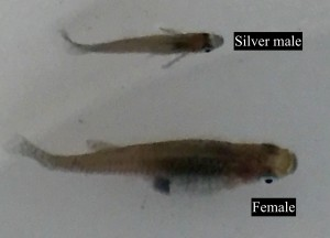 Female and Silver Mosquitofish